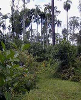 Our wild yerbamate forests