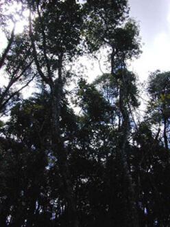 100-year old wild yerba mate trees